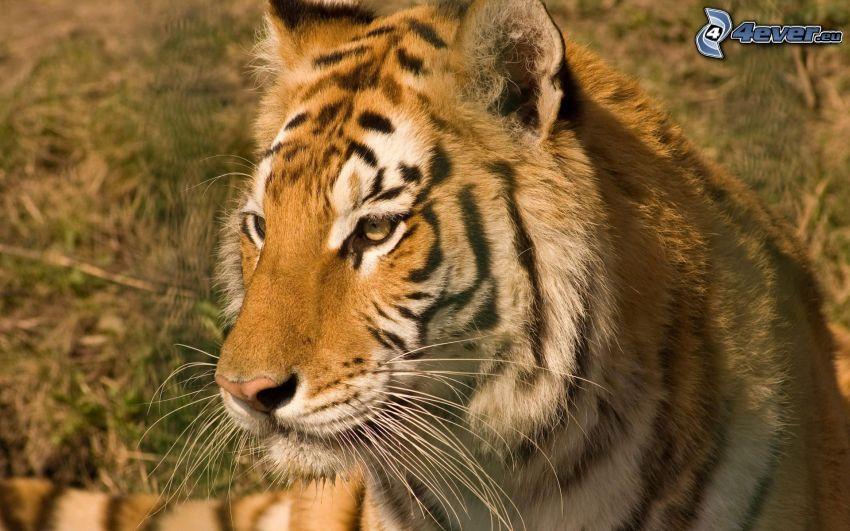 tigre, mirada