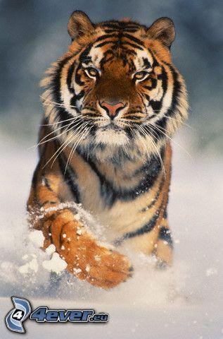 tigre, nieve, carrera