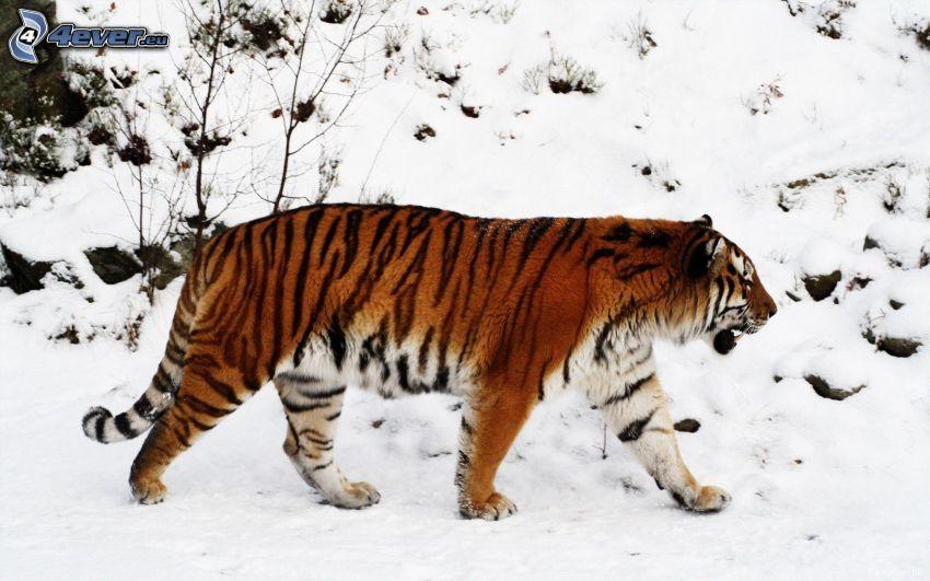 tigre, nieve