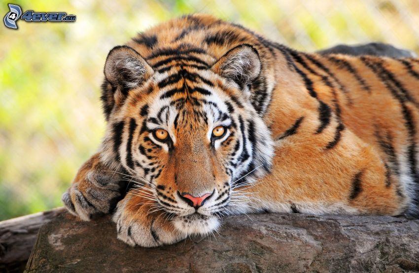 tigre, roca