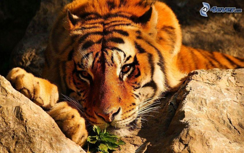 tigre, rocas