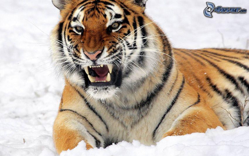 tigre, rugido, nieve