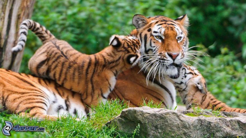 tigre, tigres pequeños