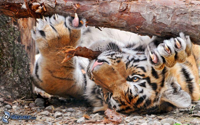 tigre, tribu, corteza de árbol