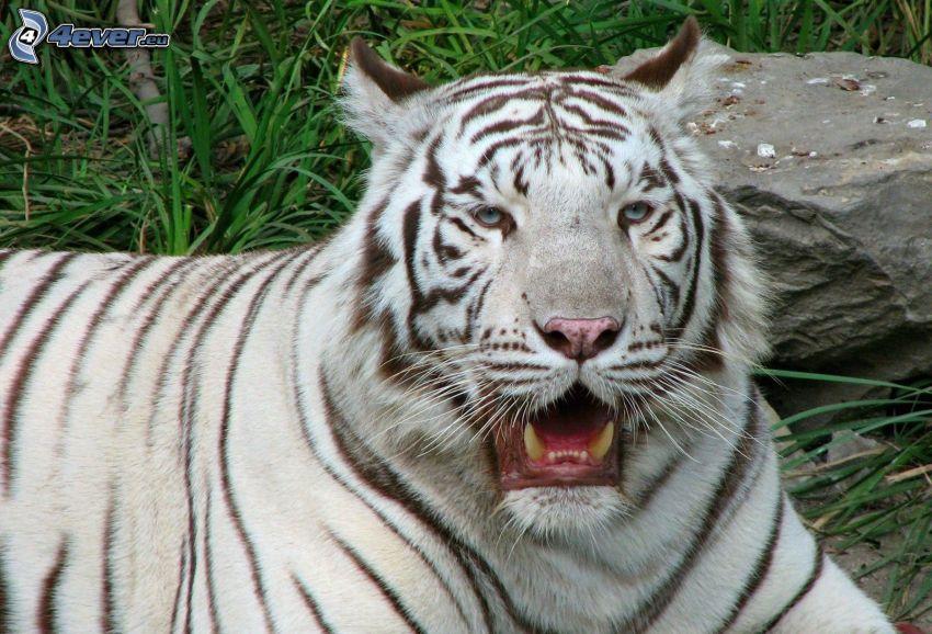 tigre blanco, bostezar