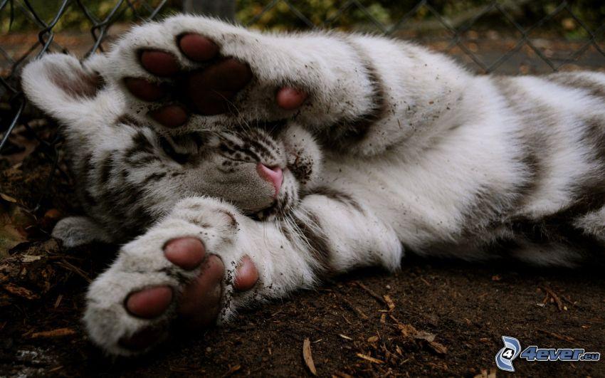 tigre blanco, cachorro, pies