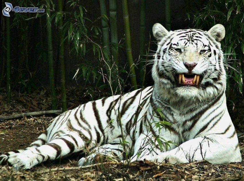 tigre blanco, colmillos, bosque de bambú