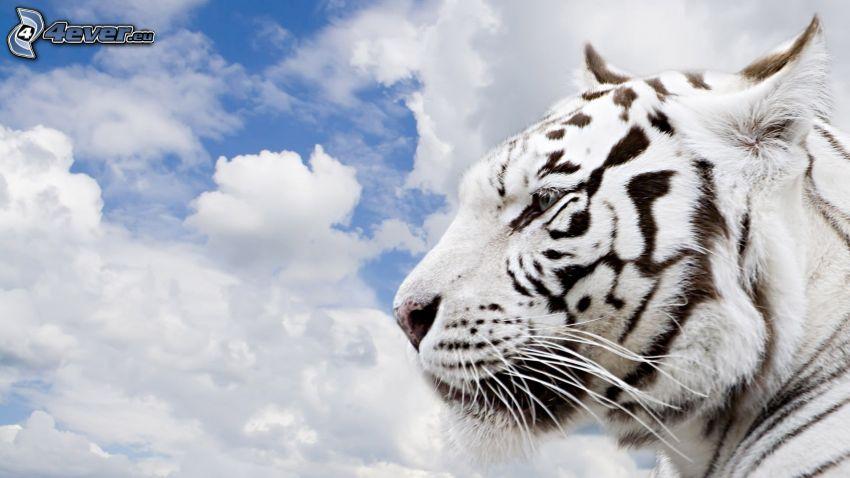 tigre blanco, nubes