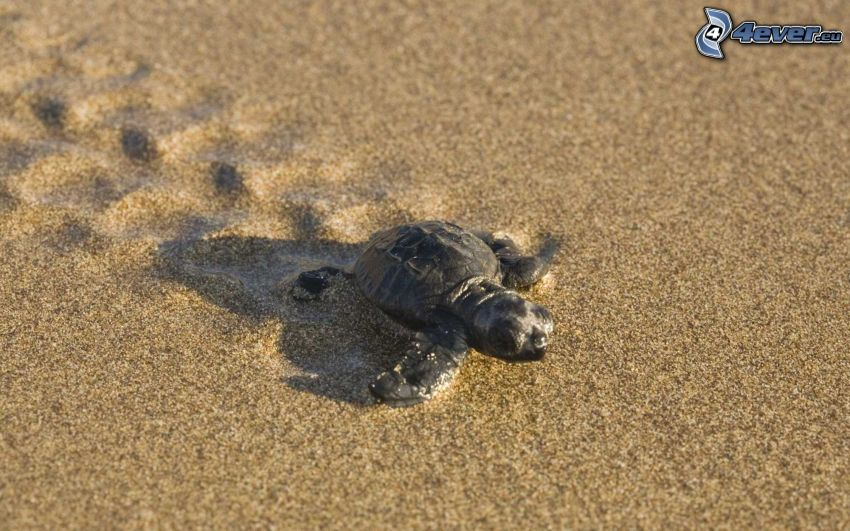 tortuga marina, cachorro, arena