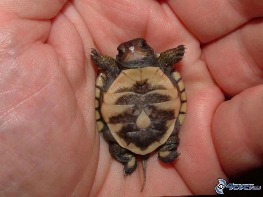 tortuga marina, cachorro, mano