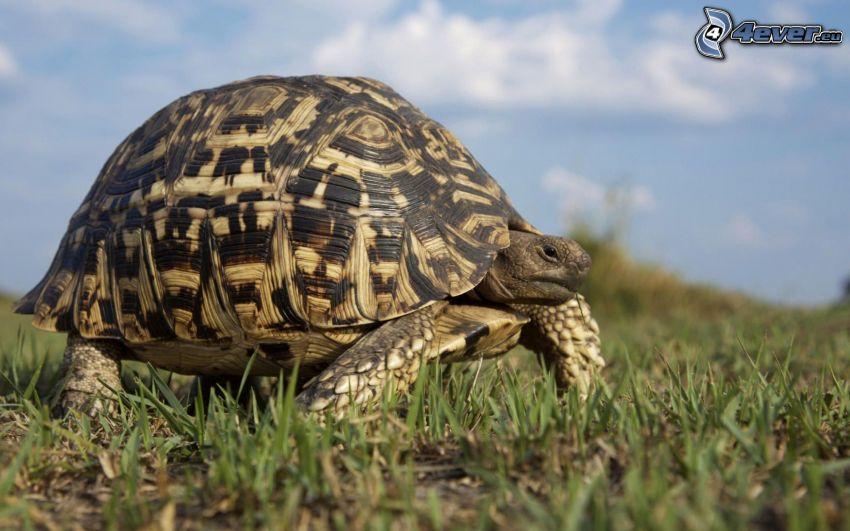 tortuga marina, hierba