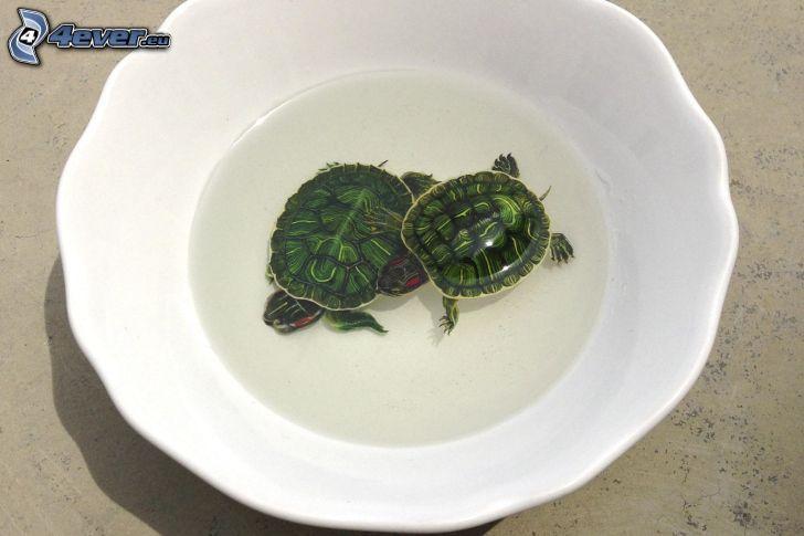 Tortugas, plato