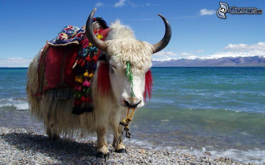 """vaca tipo """"yak"""", mar, sierra"""