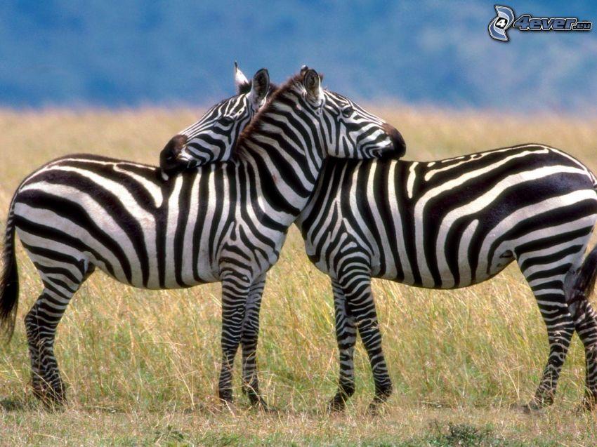 Zebras, abrazar