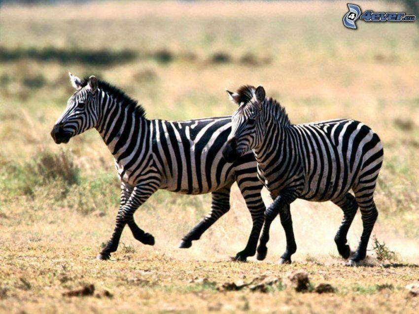 Zebras, estepa