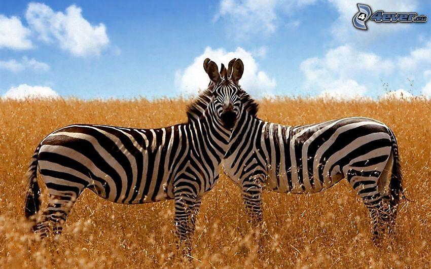 Zebras, hierba seca