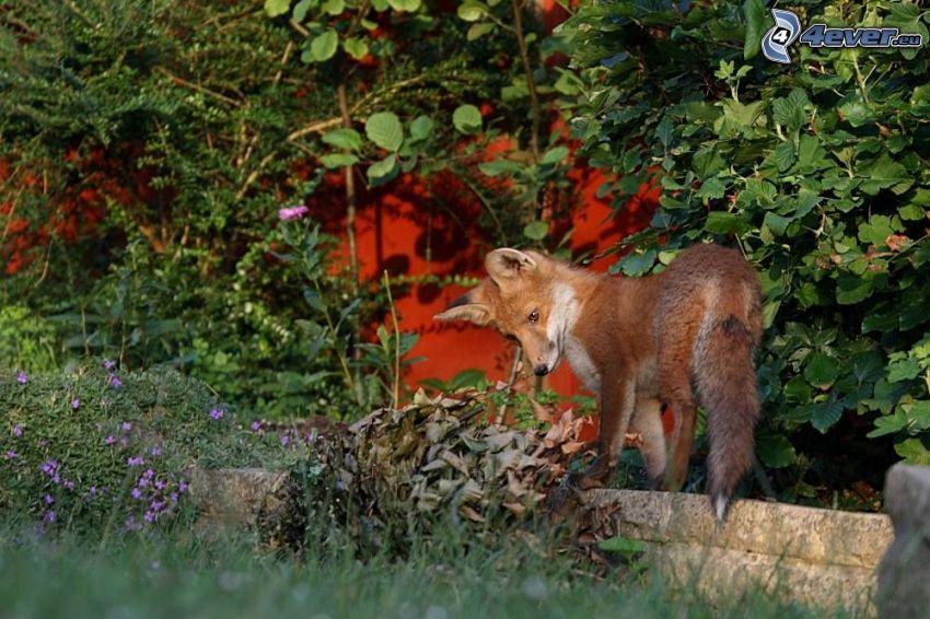 zorro, jardín, verde