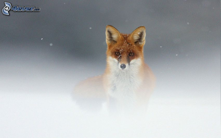 zorro, niebla