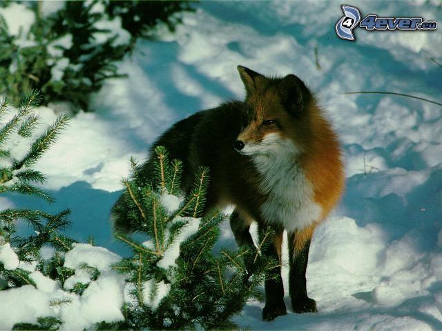 zorro, nieve, bosque nevado, invierno