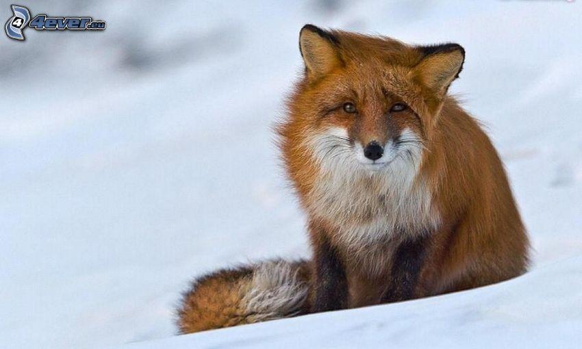zorro, nieve