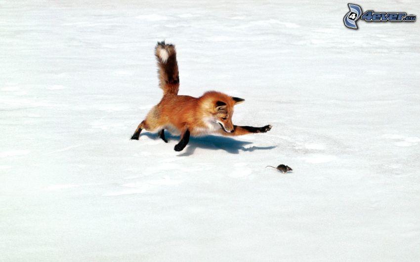 zorro, ratón, nieve, caza