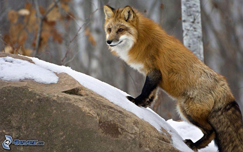 zorro, roca, nieve