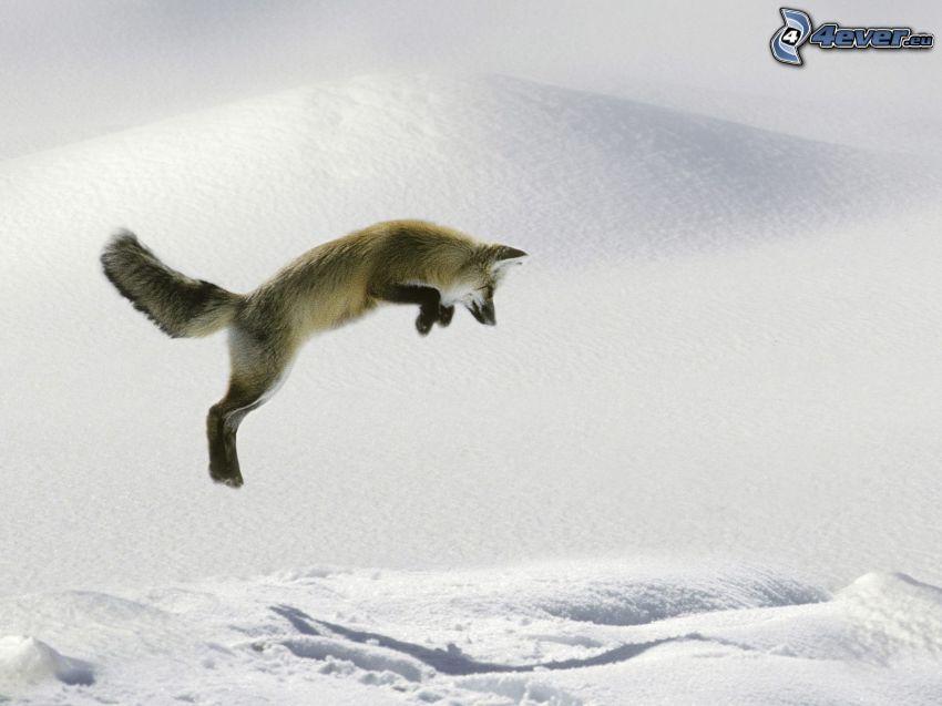 zorro, salto, nieve