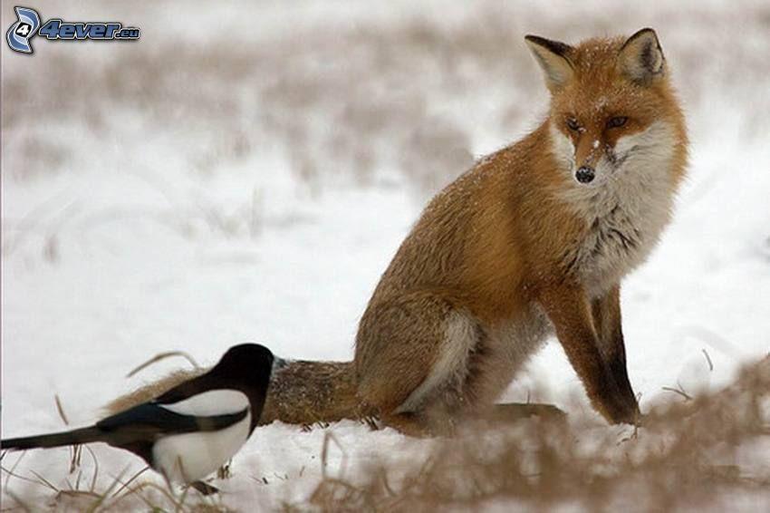 zorro, urraca, nieve