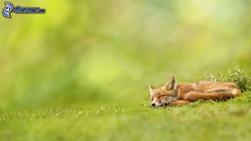 zorro durmiendo, césped
