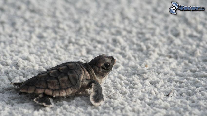 tortuga marina, cachorro