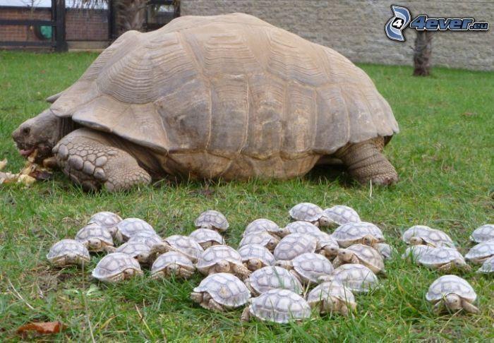 tortuga marina, crías, césped