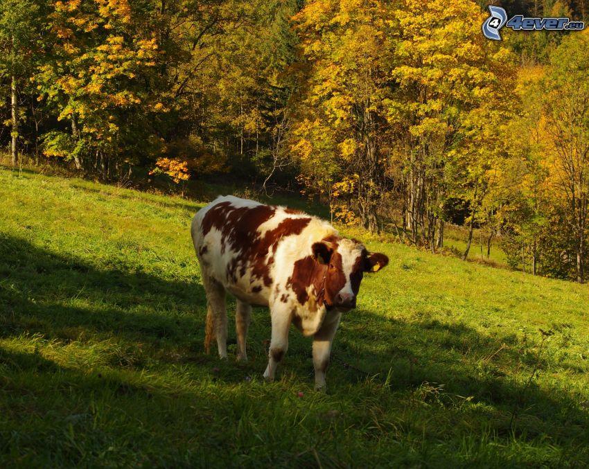 vaca, bosque de otoño