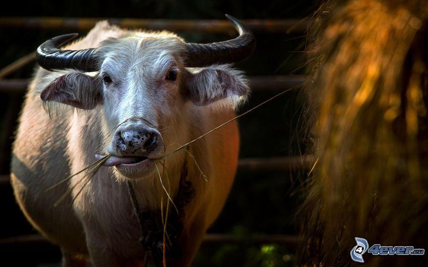 vaca, heno