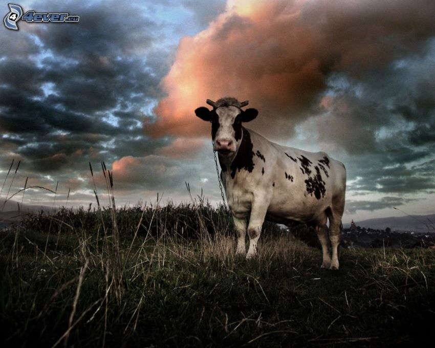 vaca, hierba seca