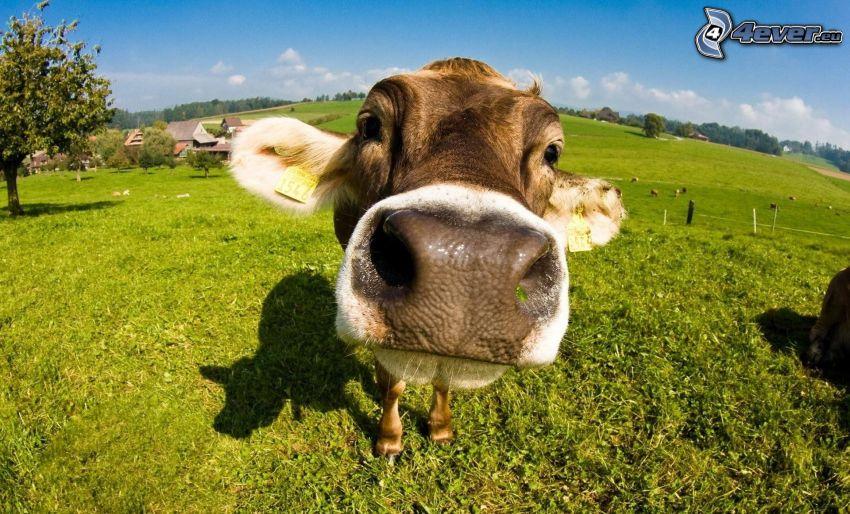 vaca, hocico, hierba verde