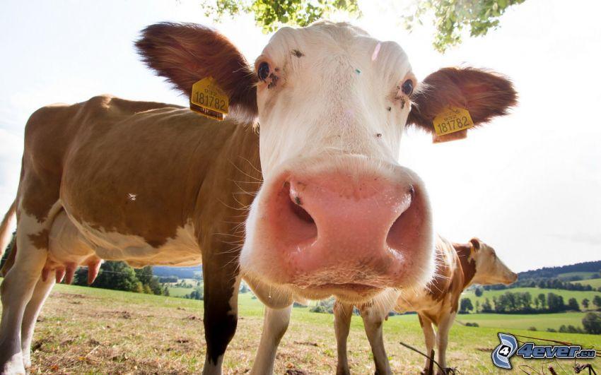 vaca, hocico