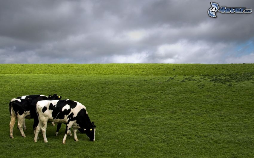 Vacas, prado, nubes