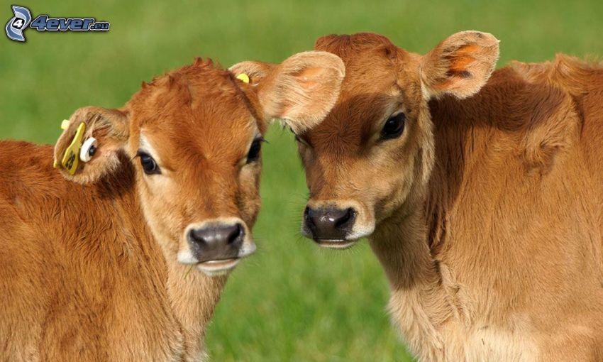 Vacas, ternero