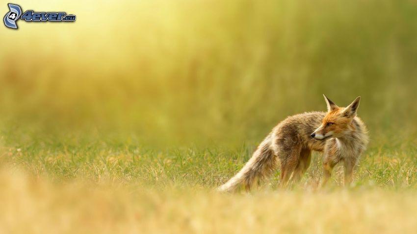 zorro, prado