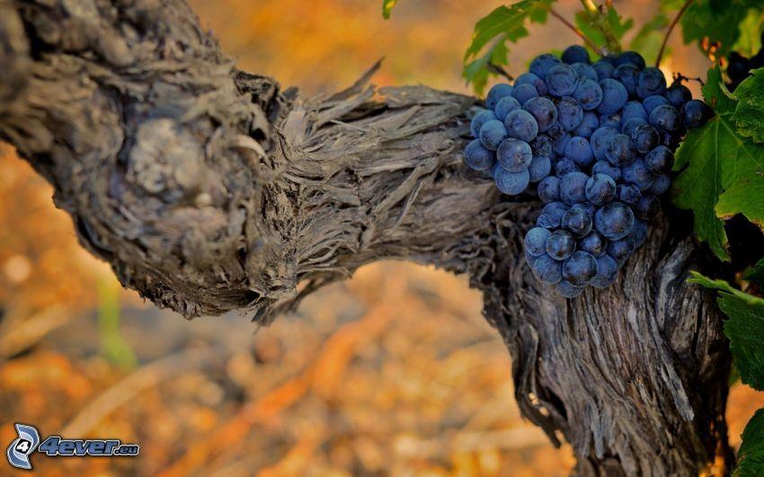 racimo de uvas, viña