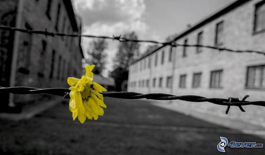 flor amarilla, campo de concentración, alambre de la cerca, Oświęcim