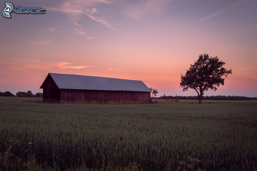 establo, campo de trigo, árbol solitario, después de la puesta del sol, atardecer