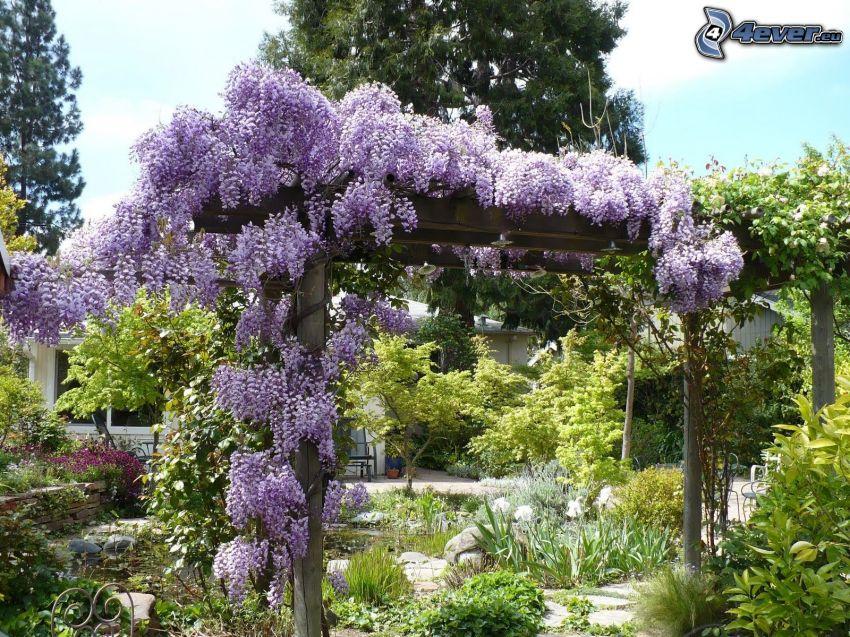 jardín, wisteria, flores de coolor violeta, verde