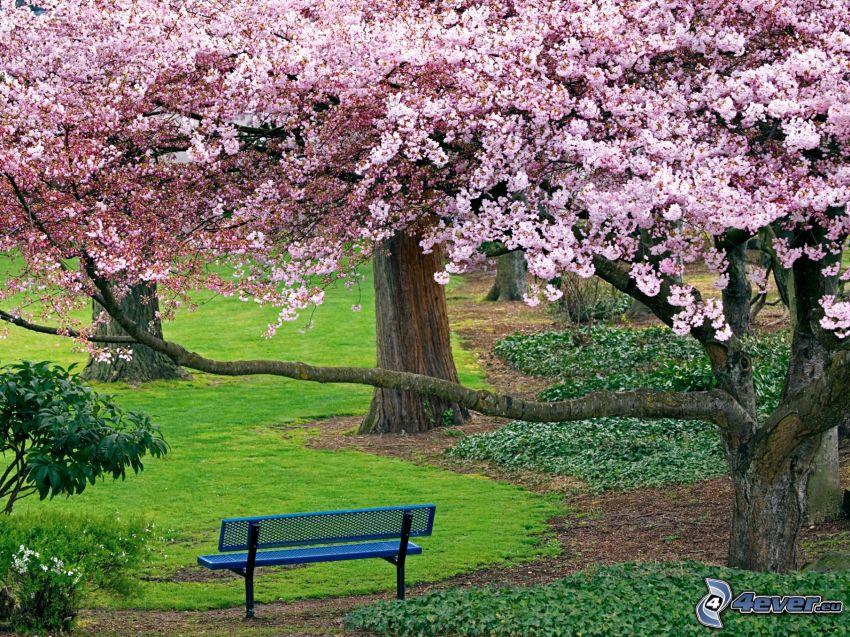árbol florido, banco en el parque