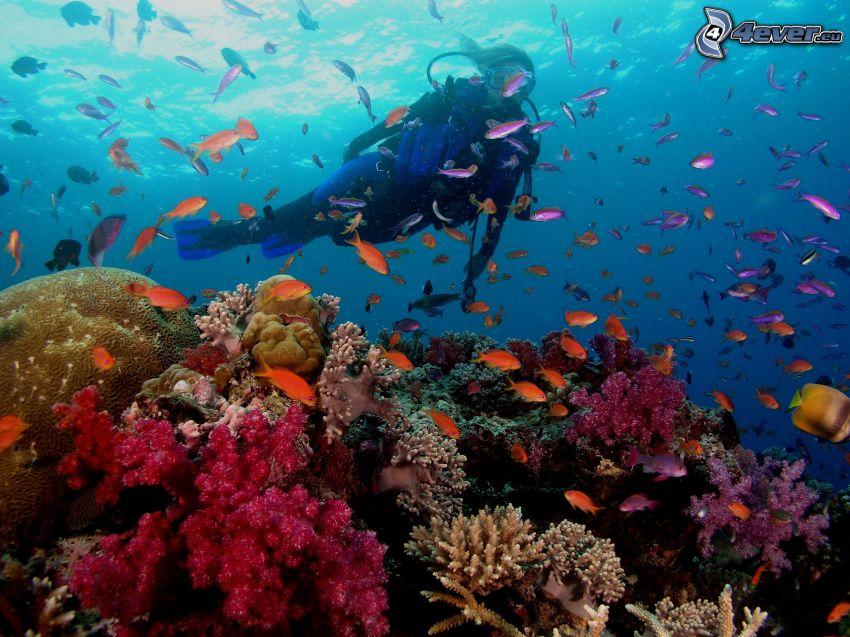 buceador, corales marinos, banco de peces