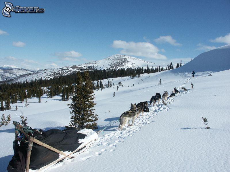 trineos tirados por perros, trineo, Alaska, nieve, bosque