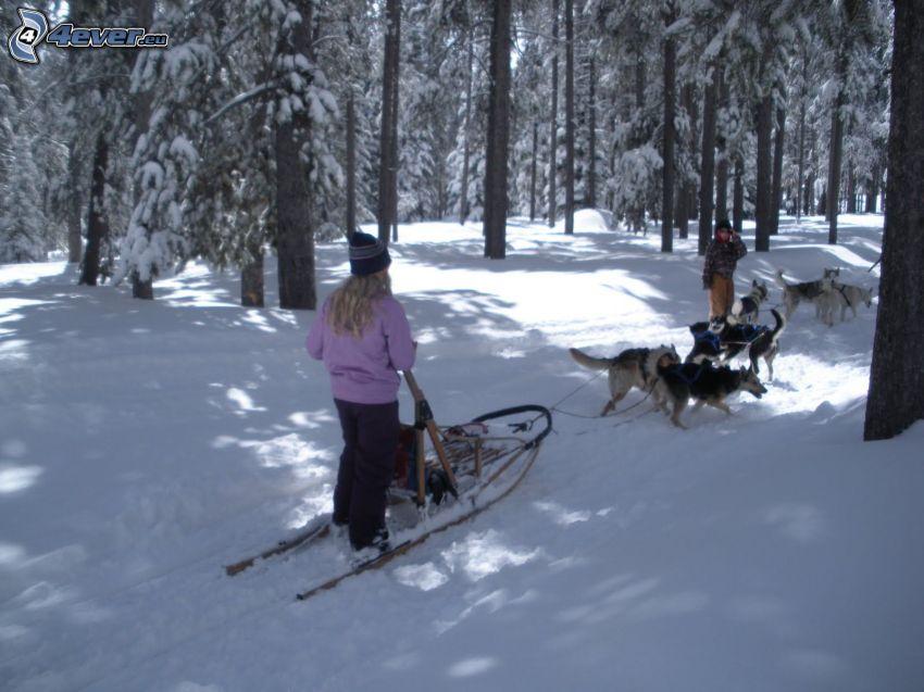 trineos tirados por perros en el bosque, nieve, trineo