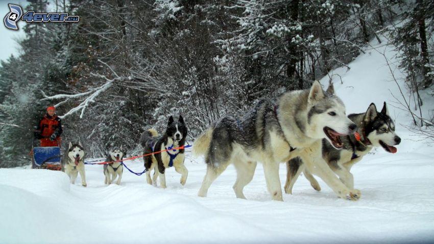 tirón de perros, Husky de Siberia, bosque nevado