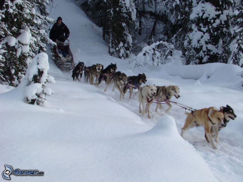 tirón de perros, Husky de Siberia, nieve