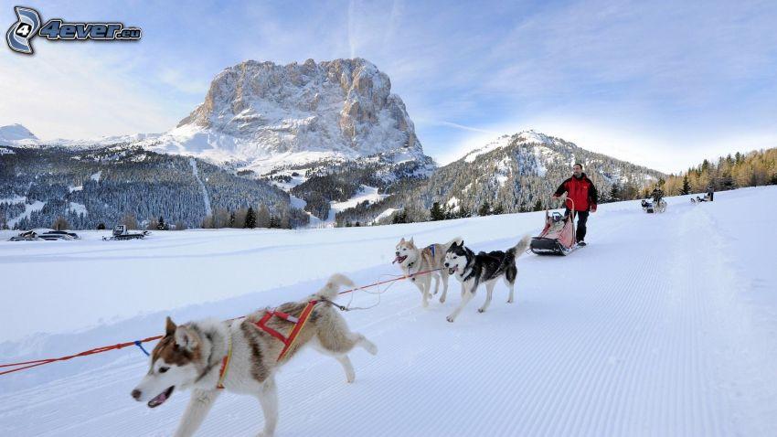 tirón de perros, Husky de Siberia, roca, nieve
